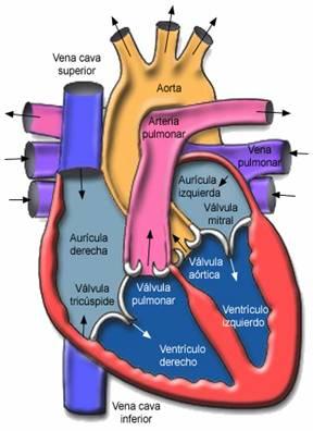 Aparato Cardiovascular: El Corazón