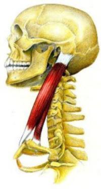 Esternocleidomastoideo (Musculatura Cabeza y Cuello)