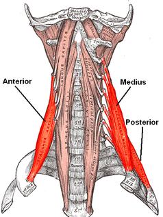 Escalenos (Musculatura Cabeza y Cuello)