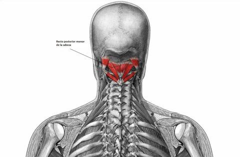 Recto Dorsal Menor de la Cabeza (Musculatura Cabeza y Cuello)