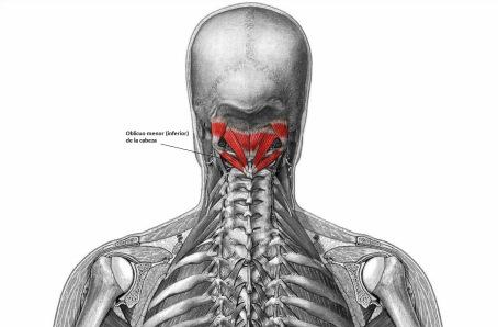 Oblicuo Menor de la Cabeza (Musculatura Cabeza y Cuello)
