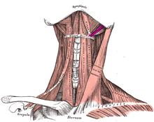 Estilohioideo (Musculatura Cabeza y Cuello)