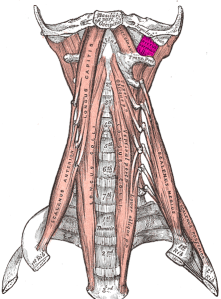 Recto Lateral (Musculatura Cabeza y Cuello)