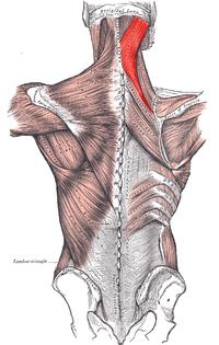 Esplenio del Cuello (Musculatura Cabeza y Cuello)