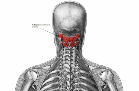 Recto Dorsal Mayor de la Cabeza (Musculatura Cabeza y Cuello)