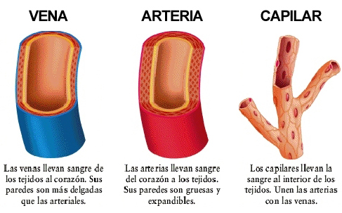Aparato Cardiovascular: Los Vasos Sanguíneos