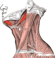 Digástrico (Musculatura Cabeza y Cuello)