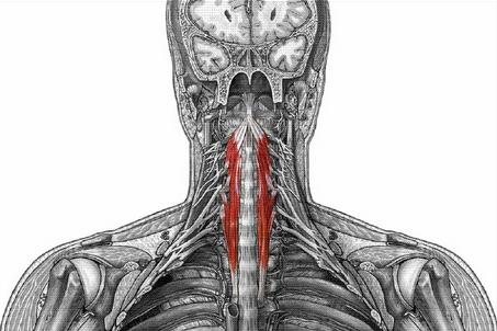 Largo del Cuello (Musculatura Cabeza y Cuello)