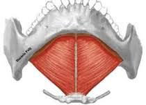 Milohioideo (Musculatura Cabeza y Cuello)