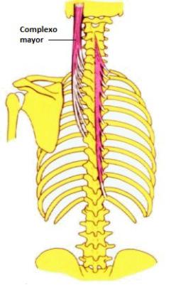 Semiespinoso Cervical (Musculatura Cabeza y Cuello)