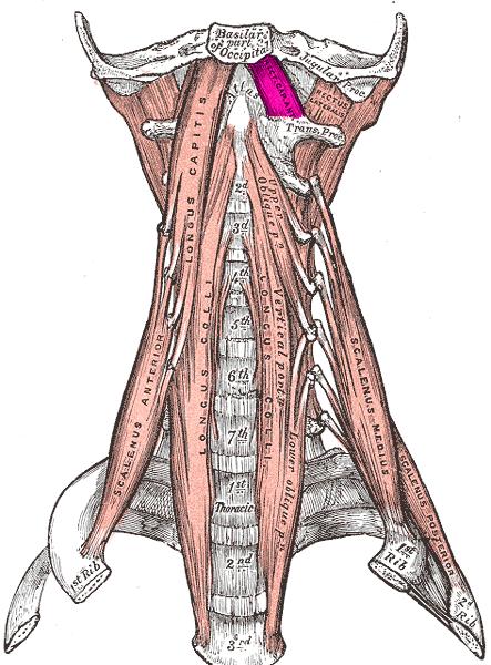 Recto Anterior de la Cabeza (Musculatura Cabeza y Cuello)