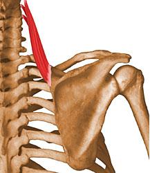 Angular de la Escápula (Musculatura Cabeza y Cuello)
