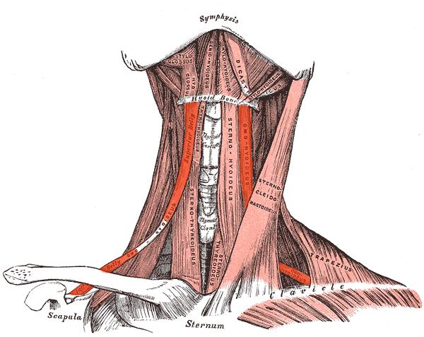 Omohioideo (Musculatura Cabeza y Cuello)