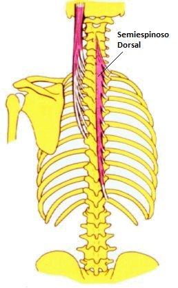 Semiespinoso Dorsal (Musculatura Cabeza y Cuello)