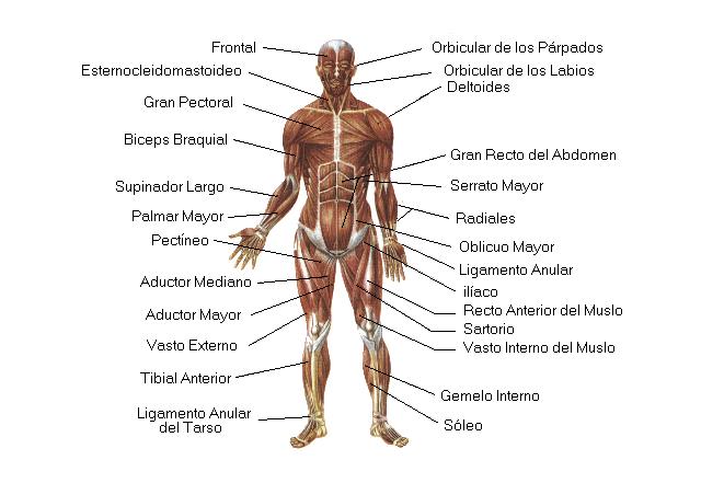 Sistema Muscular - Sistemas - Cuerpo Humano - TAFAD - TAFAD y Cursos
