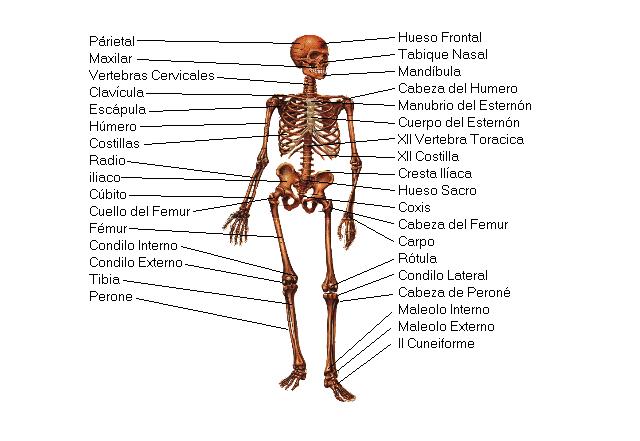 Sistema Óseo - Sistemas - Cuerpo Humano - TAFAD - TAFAD y Cursos