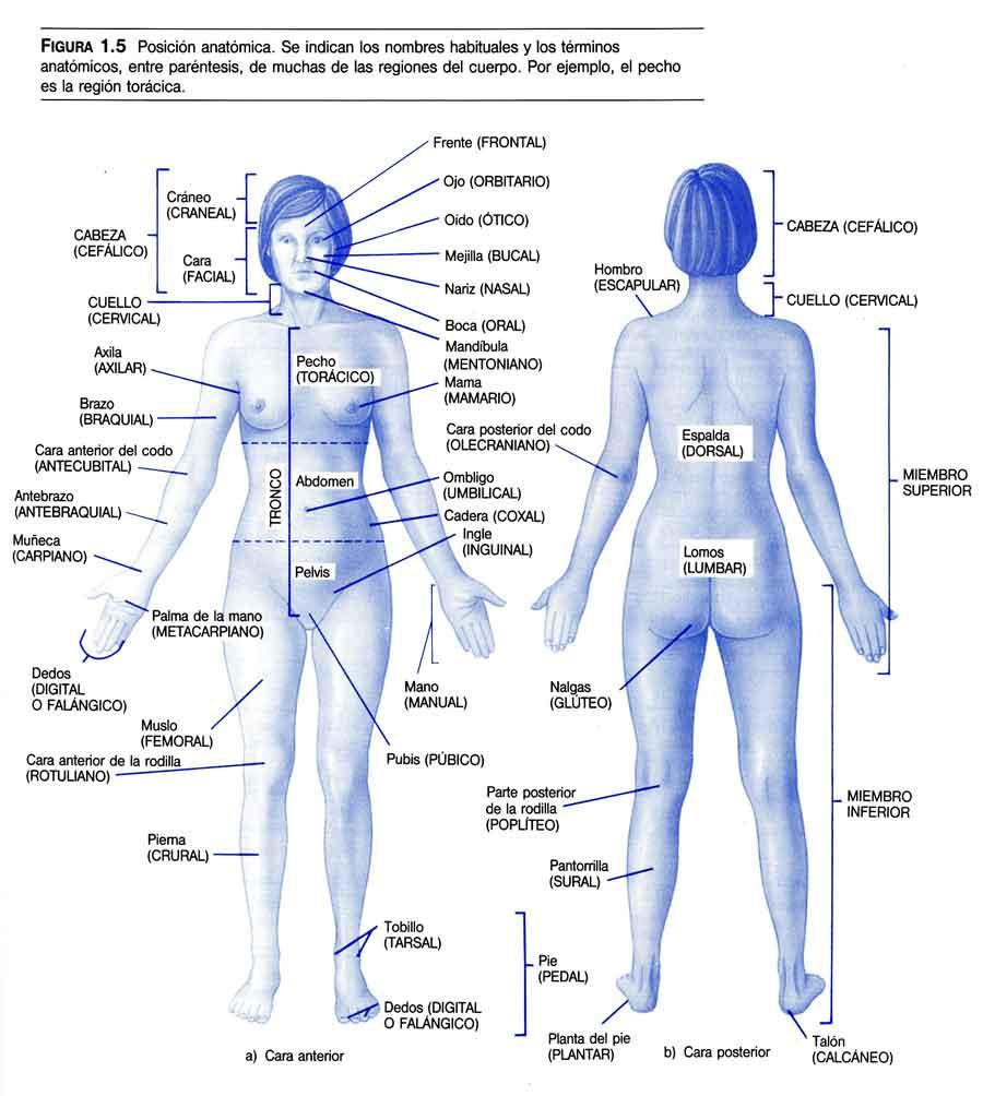 ¿Qué es la Posición Anatómica?