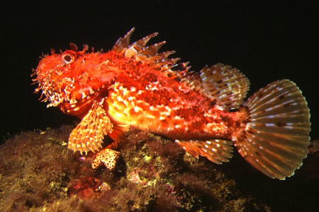 Socorrismo pez escorpión