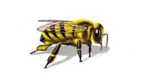 Socorrismo picadura de abejas