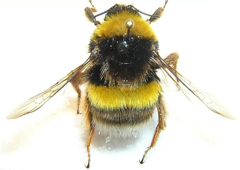 Socorrismo picadura de abejorros