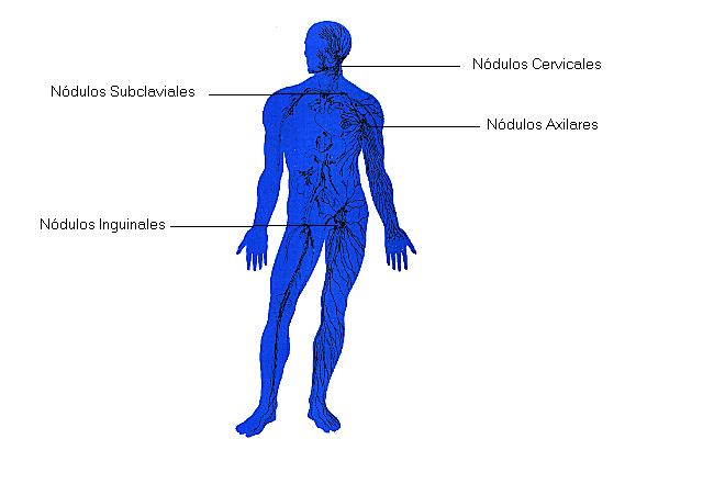Sistema Linfático - Sistemas - Cuerpo Humano - TAFAD - TAFAD y Cursos