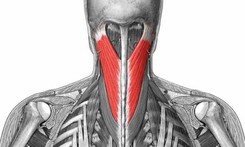 Músculo Esplenio de la Cabeza