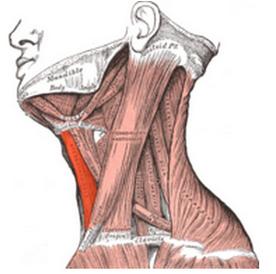 Músculo Esternocleidohioideo