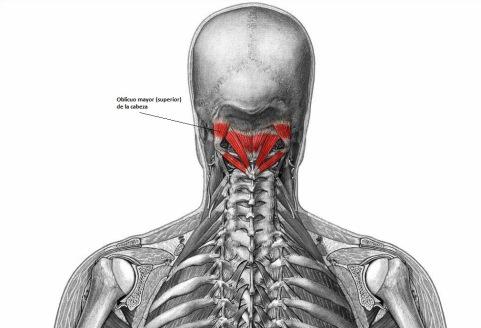 Músculo Oblicuo Mayor de la Cabeza