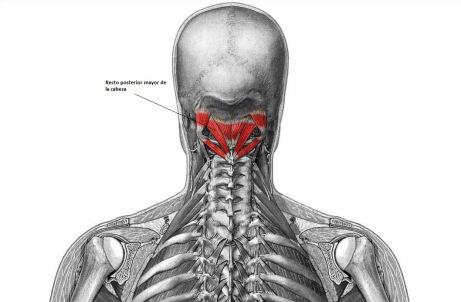 Músculo Recto Dorsal Mayor de la Cabeza