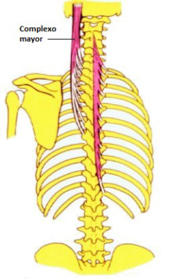 Músculo Semiespinoso Cervical