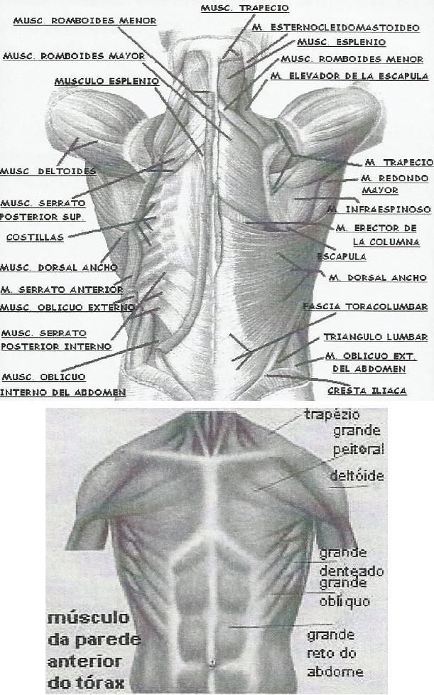 Músculos respiración